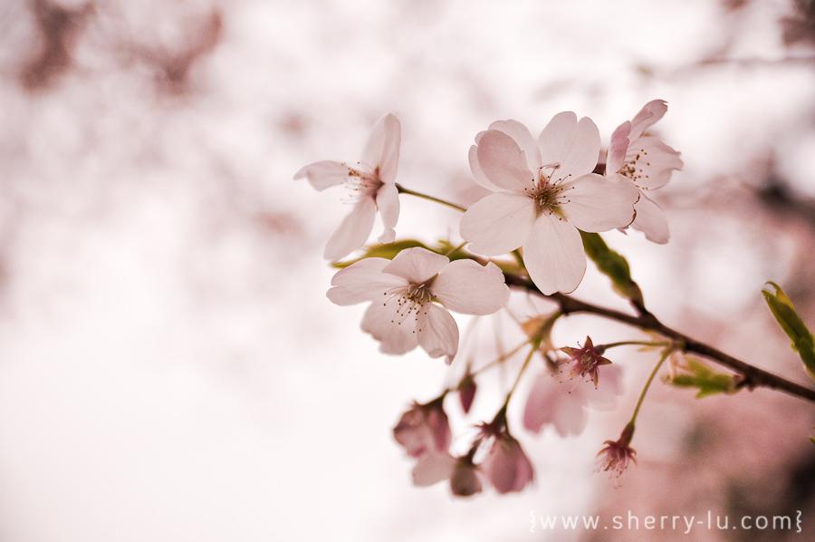 sakura in vancouver