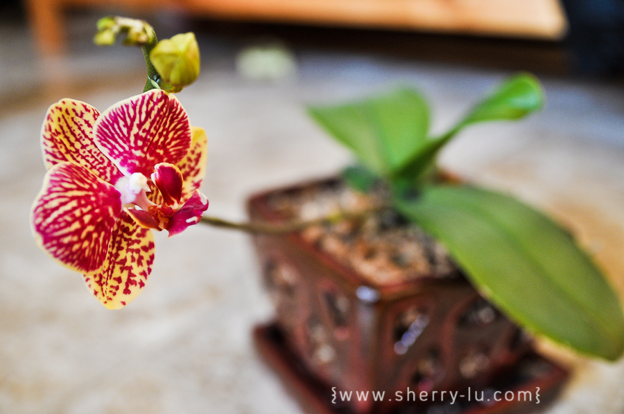pink and yellow orchid, coquitlam photographer